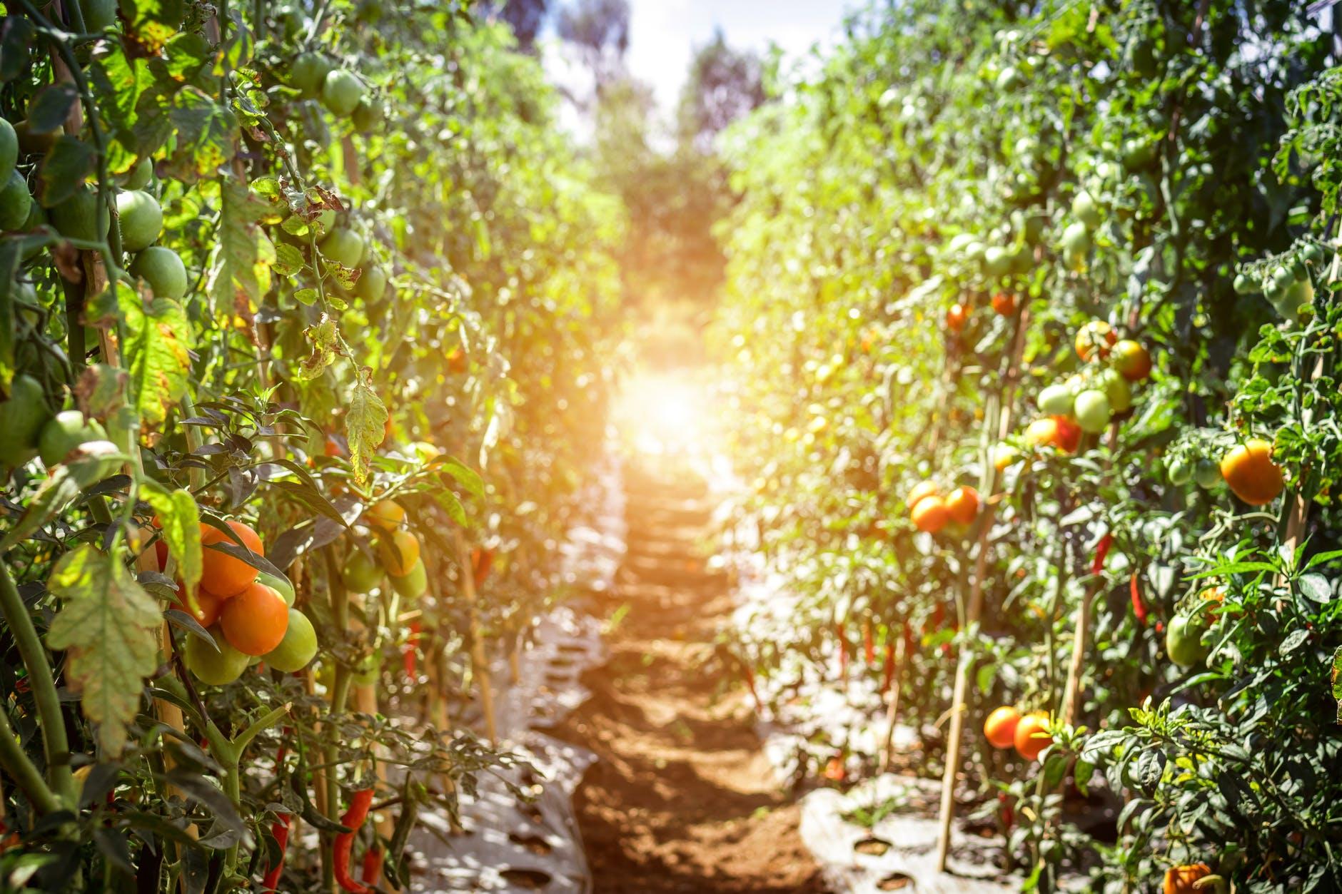 pathway between tomato fruits
