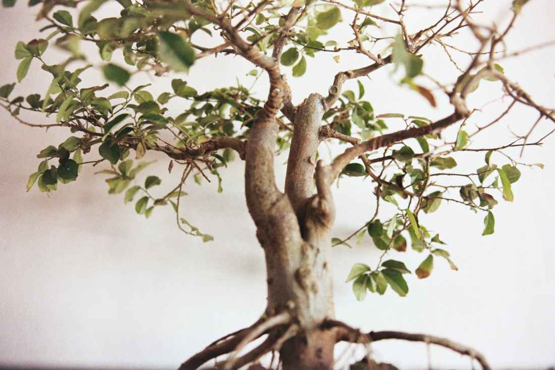 selective focus photography of green leafed bonsai